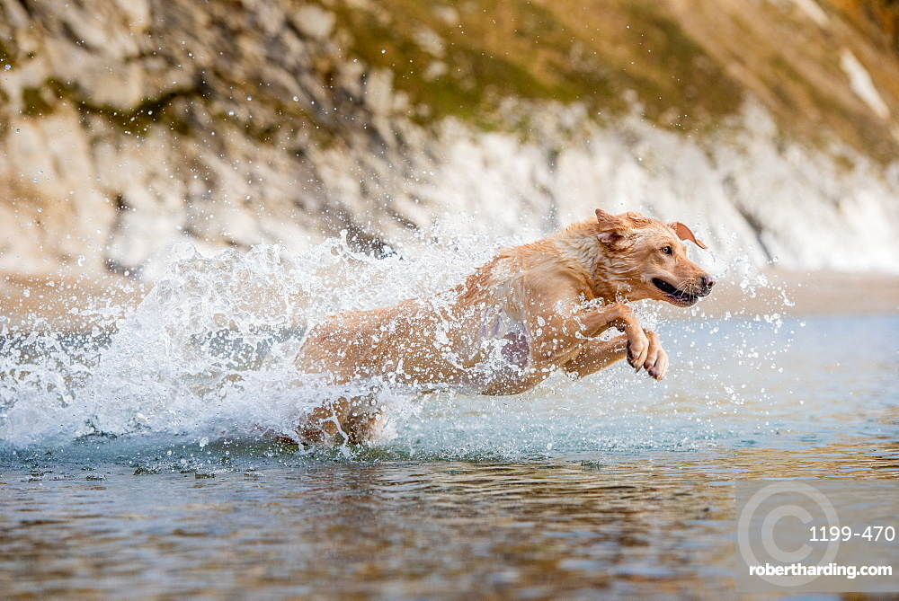golden labrador swimming on beach in Dorset