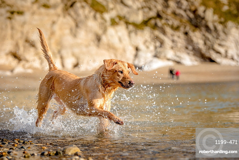 Golden labrador on beach in Dorset, England, United Kingdom, Europe