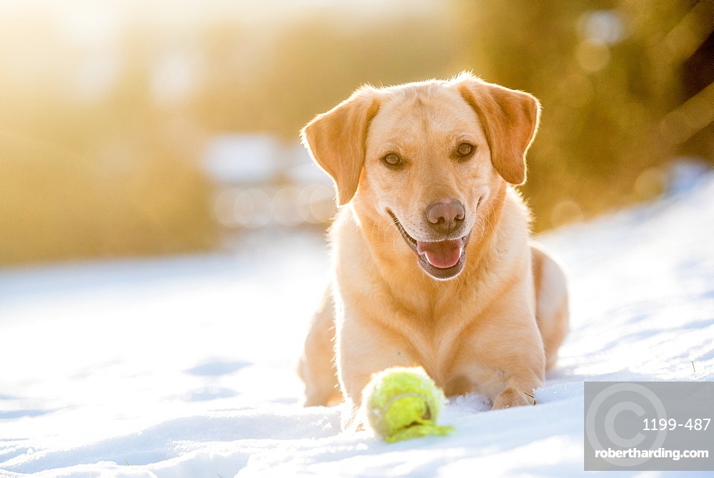 Golden Labrador in the snow with a tennis ball, United Kingdom, Europe