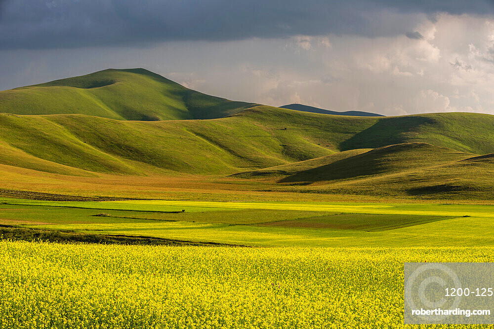 Fields of flowering lentils on the Piano Grande, Monti Sibillini National Park, Perigua District, Umbria, Italy, Europe