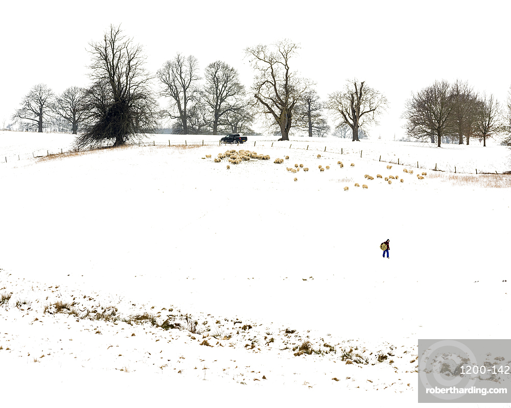 Farmer carrying hay, with sheep, in snow covered field, Kent, England.