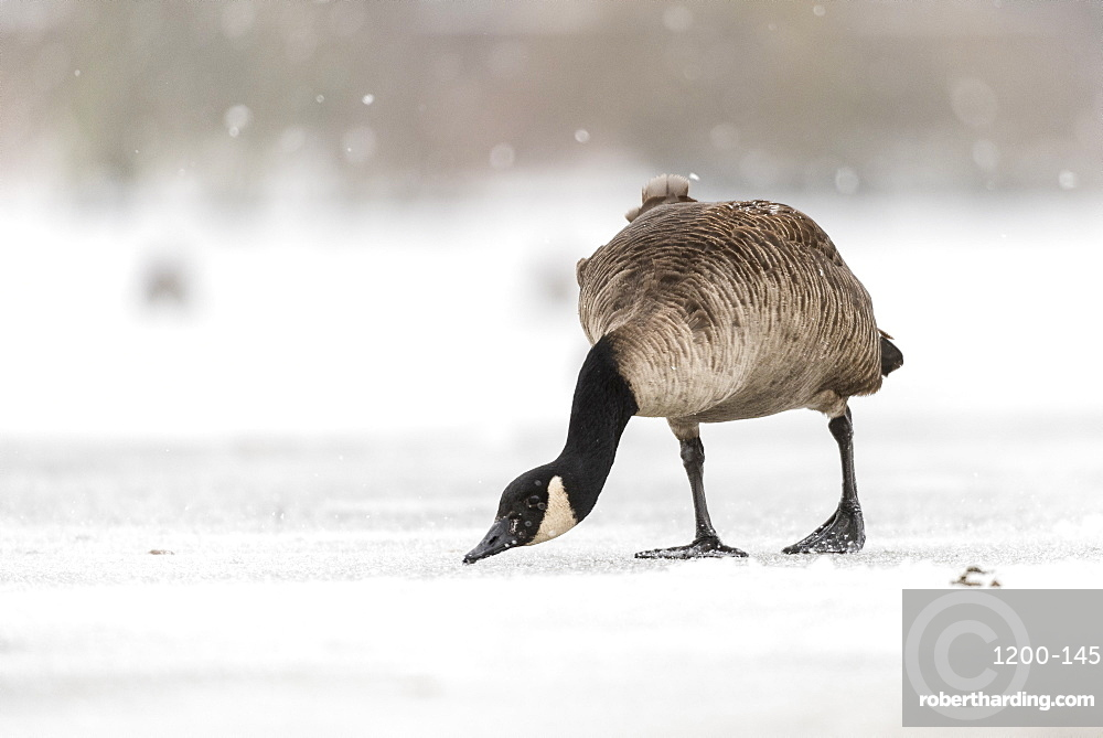 Canada goose (Branta canadensis) on snow covered, frozen lake, Kent, England.
