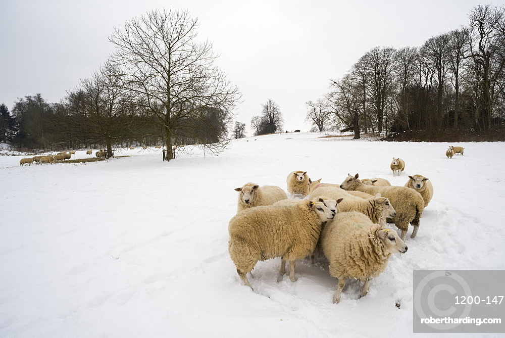 Sheep in snow covered field, Kent, England.