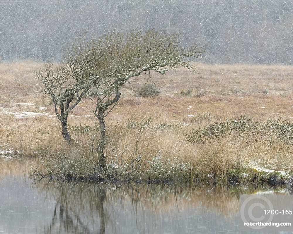 Hawthorn and snowfall, Broad Pool, Gower, South Wales.