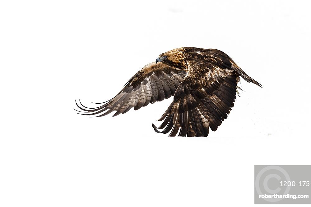 Golden eagle (Aquila chrysaetos), in flight, Kuusamo, Finland, Europe