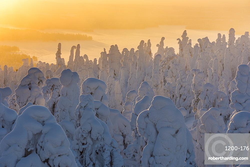 Snow covered trees (Tykky), at sunrise, Ruka, Kuusamo, Finland.