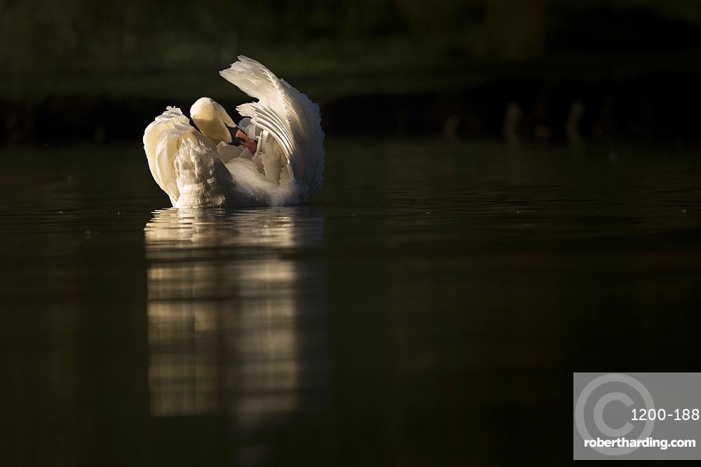 Mute swan (Cygnus olor) preening, Kent, England.