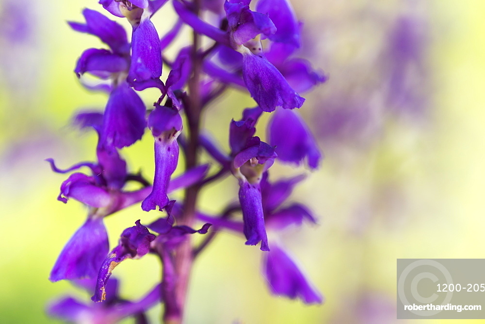 Early-purple orchid (Orchis mascula), close-up of flower, Kent, England.