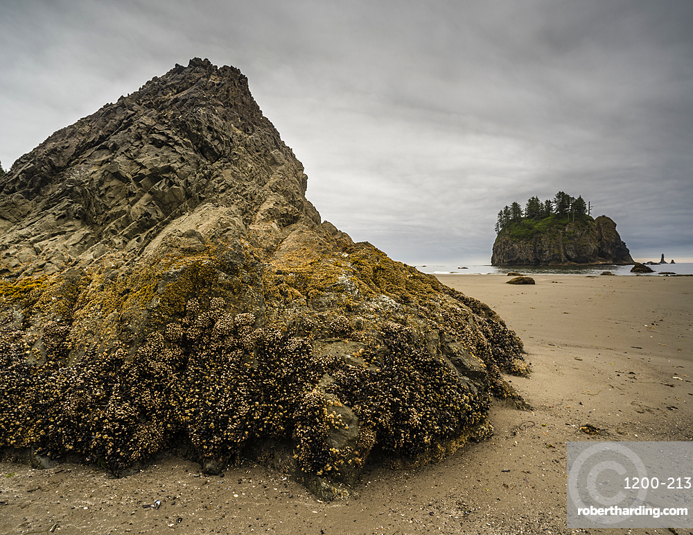 Rock covered in barnacles, First Beach at dawn, Olympic National Park, Washington, United States.