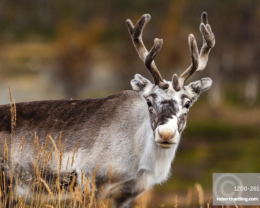 Reindeer (Rangifer tarandus), Kilpisjarvi, Lapland, Finland.