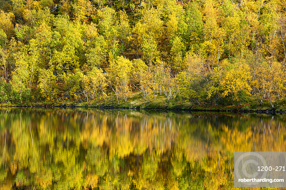 Silver birch (Betula pendula) reflected in lake, autumn colour, Senja, Norway.