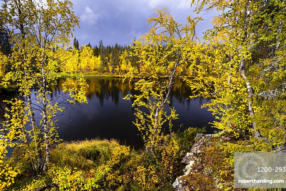 Silver birch (Betula pendula) in autumn colour, Muonio, Lapland, Finland, Europe