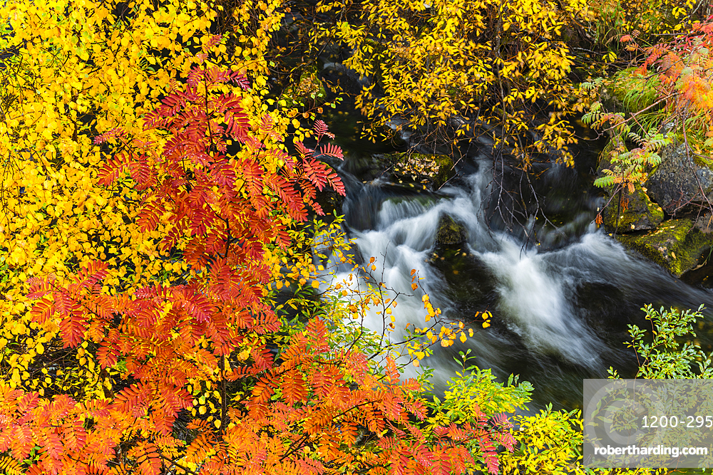 Mountain ash (Sorbus aucuparia) and silver birch {Betula pendula), and fast flowing stream, autumn colour, Ruska, Muonio, Lapland, Finland, Europe