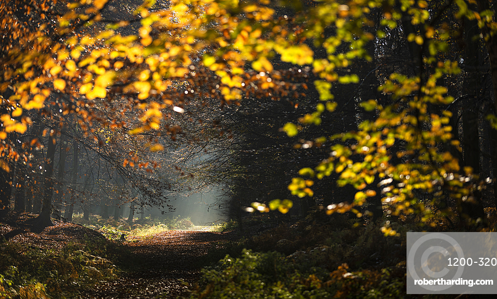 Common beech (Fagus sylvatica) trees and path, morning sunlight, autumn colour, King's Wood, Challock, Kent, England, United Kingdom, Europe