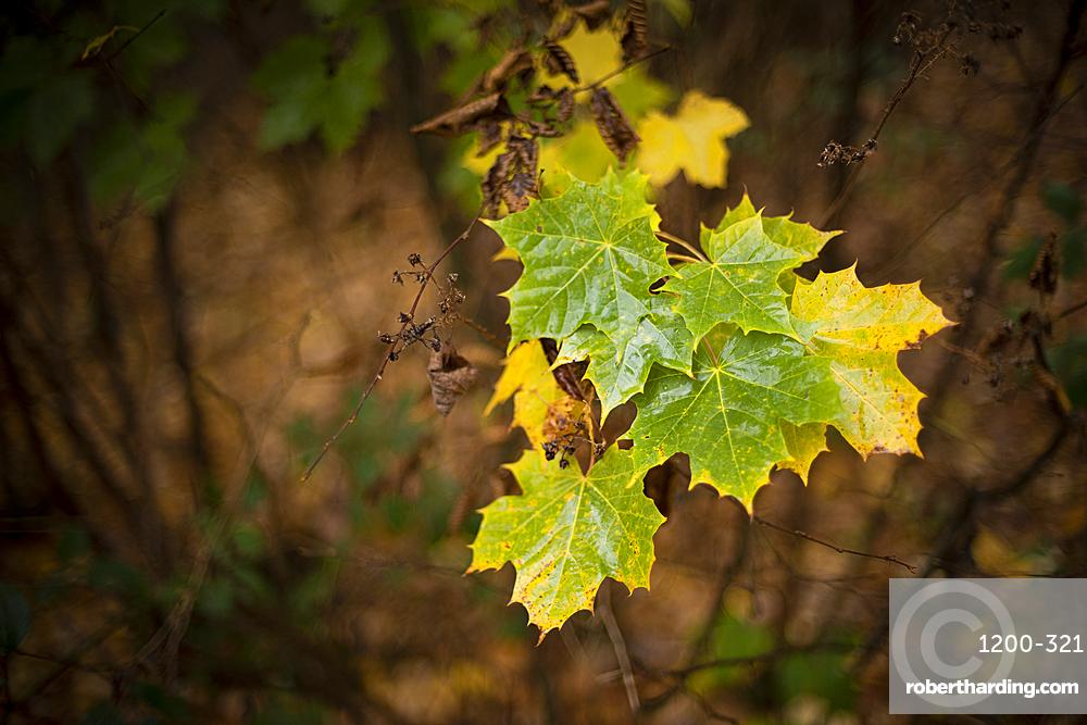 Sycamore (Acer pseudoplatanus) leaves, autumn colour, Kent, England.