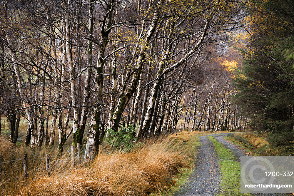 Silver birch (Betula pendula) avenue and track in autumn, The Black Valley, Killarney National Park, County Kerry, Munster, Republic of Ireland, Europe