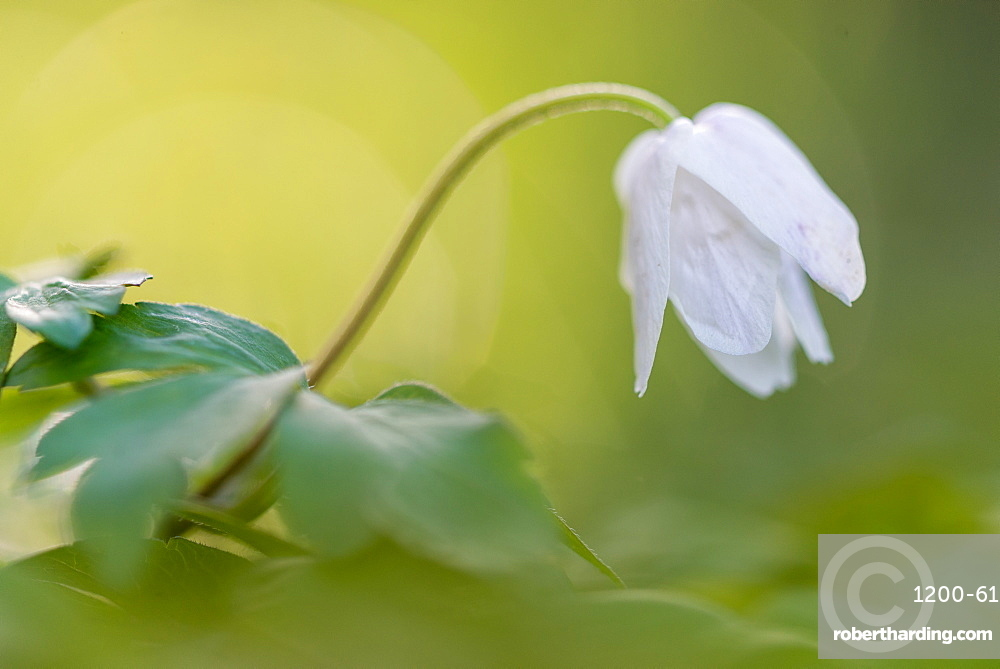Wood anemone (Anemone nemorosa) flowering, head closed, at sunset, growing in woodland habitat, Kent, England, United Kingdom, Europe