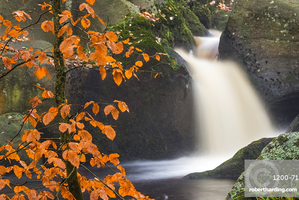 Common beech (Fagus sylvatica) tree and waterfall, Padley Gorge, Peak District, Derbyshire, England, United Kingdom, Europe