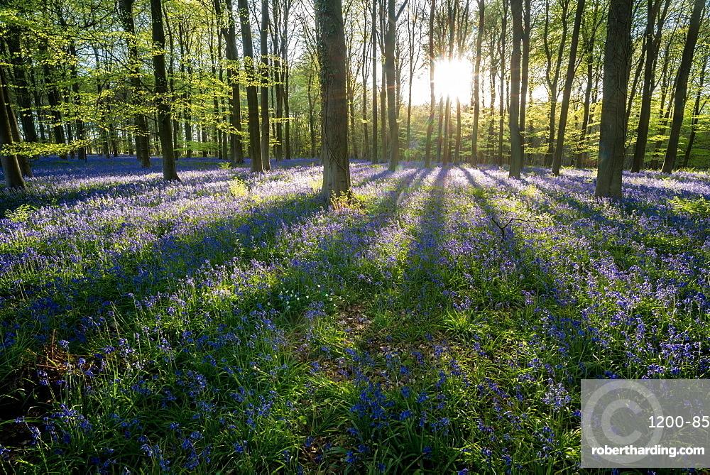 Common bluebell (Hyacinthoides non-scripta) growing in common beech (Fagus sylvatica) woodland habitat, Kent, England, United Kingdom, Europe