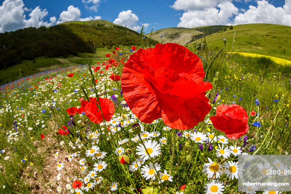 Wildflower meadow of poppies and ox-eye daisy, Monte Sibillini Mountains, Piano Grande, Umbria, Italy, Europe