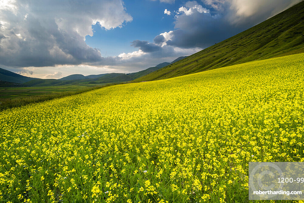 Flowering lentils and the Monte Sibillini Mountains, Umbria, Italy, Europe