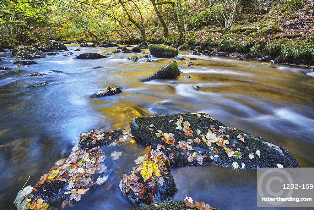 An autumn view, with autumn colours, of ancient woodland lining the River Teign, near Fingle Bridge, Dartmoor National Park, Devon, England, United Kingdom, Europe