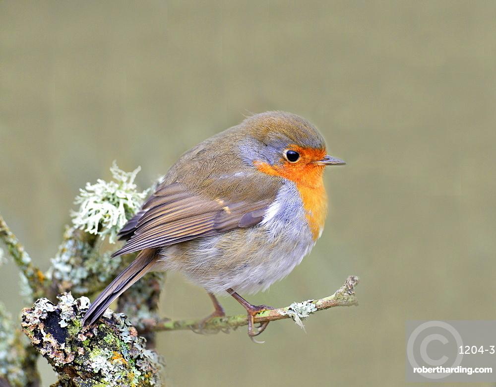 Robin (Erithacus rubecula), Lake District, Cumbria, England, United Kingdom, Europe