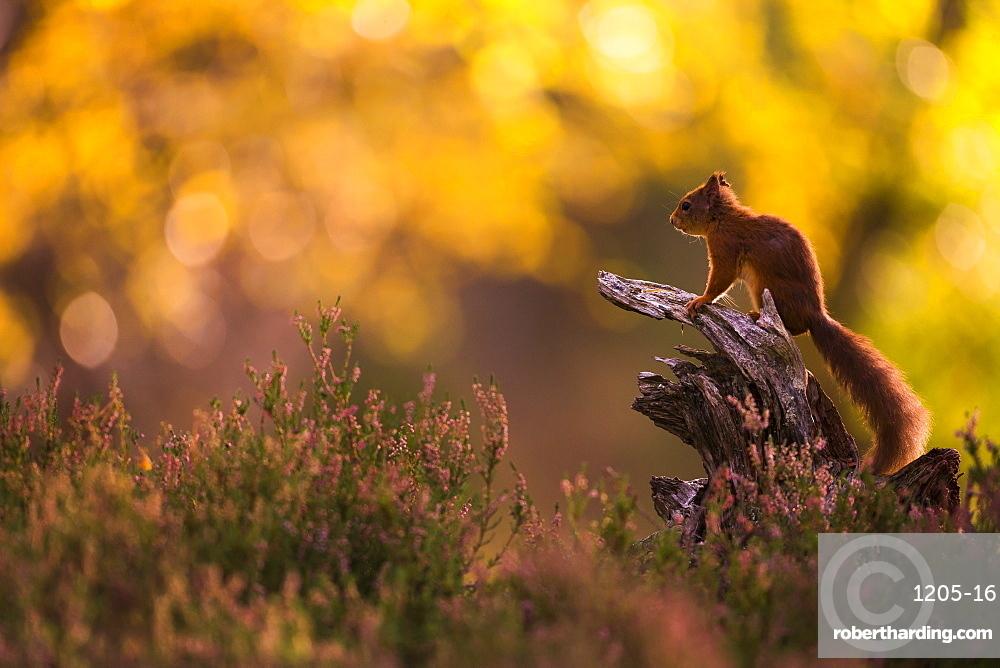 Red squirrel (Sciurus vulgaris) and autumnal colours, Cairngorms National Park, Scotland, United Kingdom, Europe