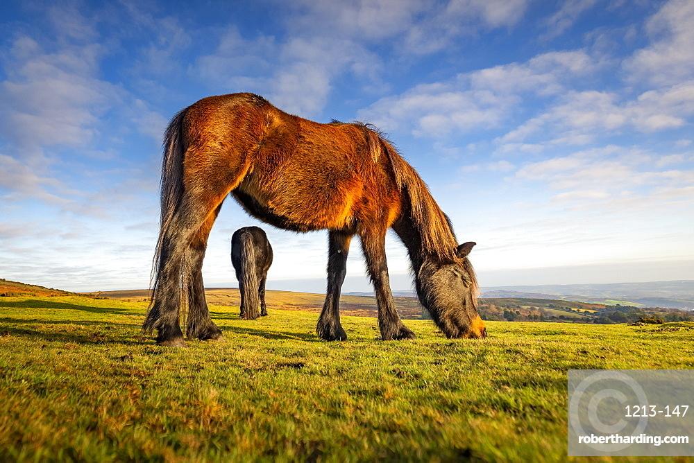 Ponies grazing in Dartmoor National Park, England, Europe
