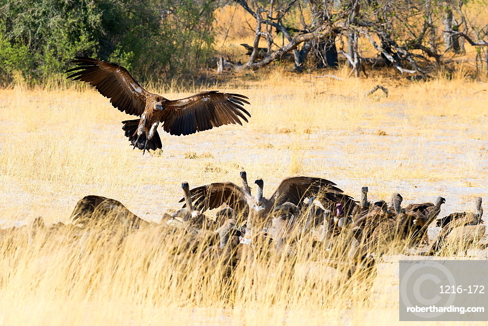 Vultures on a kill, Botswana, Africa
