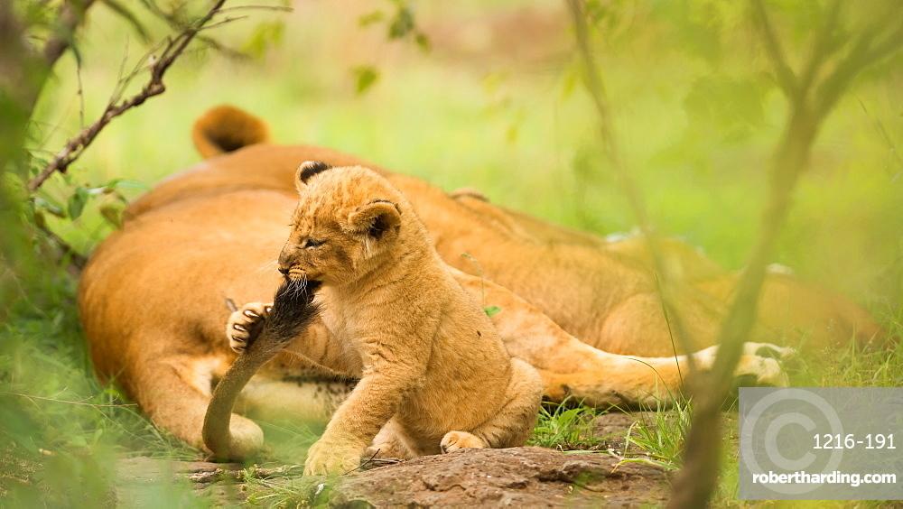 Lion cub biting mother's tail, Masai Mara, Kenya, East Africa, Africa