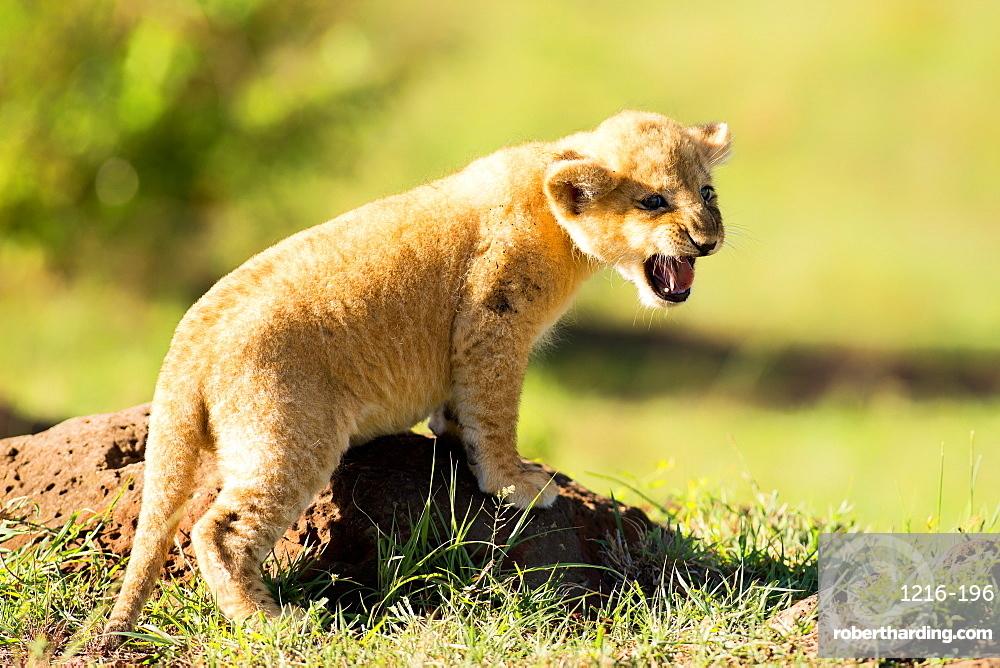 Lion cub calling, Masai Mara, Kenya, East Africa, Africa