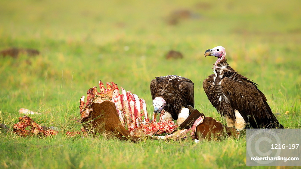 Lappet Faced Vultures on a kill, Masai Mara, Kenya, Africa