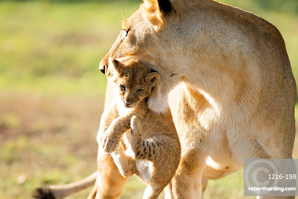 Lion with cub in mouth, Masai Mara, Kenya, East Africa, Africa