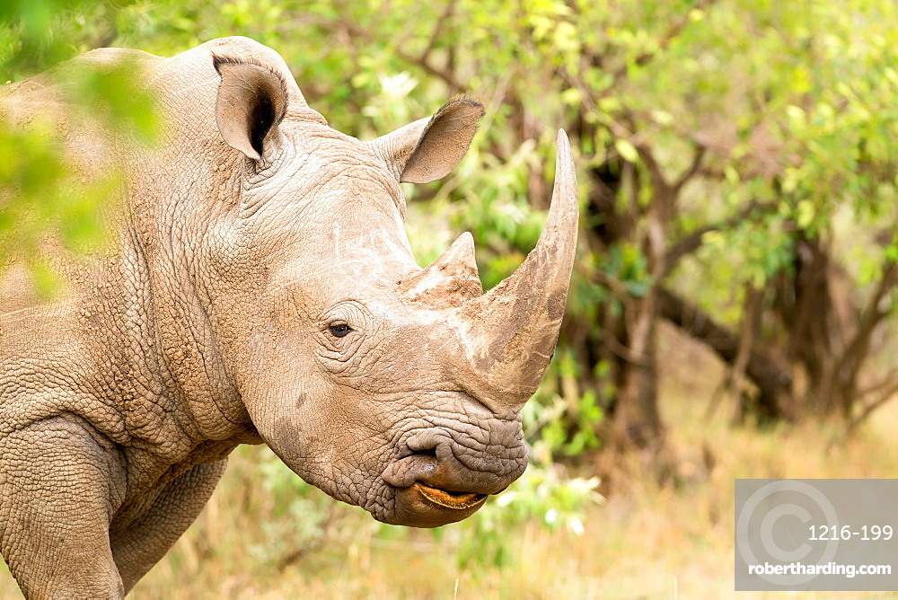 White rhinoceros, Masai Mara, Kenya, East Africa, Africa
