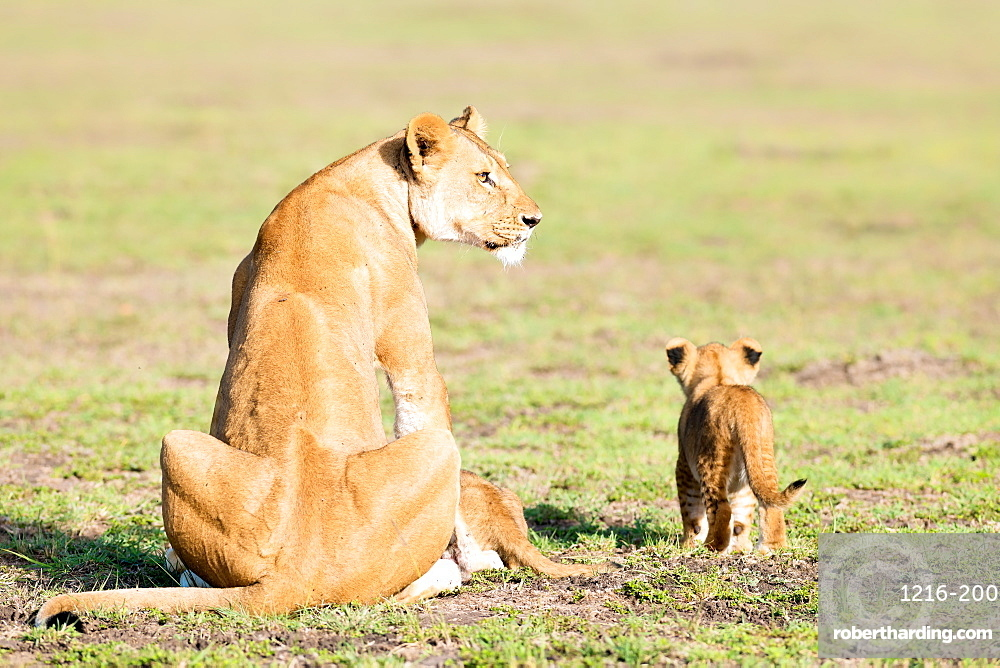 Lioness and cubs, Masai Mara, Kenya, East Africa, Africa