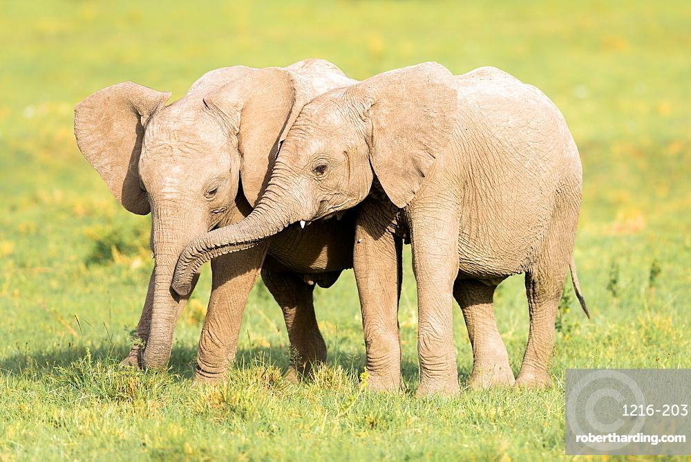 Young Elephants, Masai Mara, Kenya, Africa