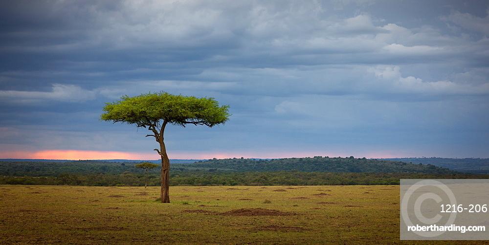 Acacia Tree, Masai Mara, Kenya, Africa