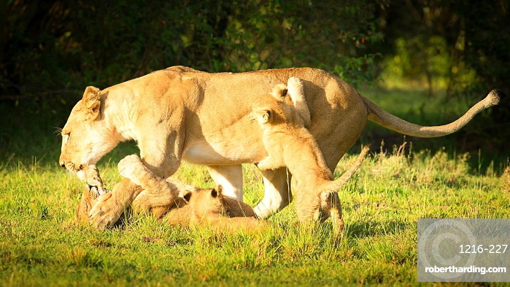 Young lion cubs playing with lioness, Masai Mara, Kenya, East Africa, Africa