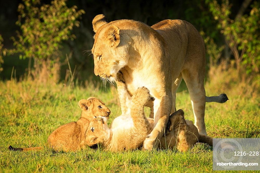 Lioness with cubs, Masai Mara, Kenya, East Africa, Africa