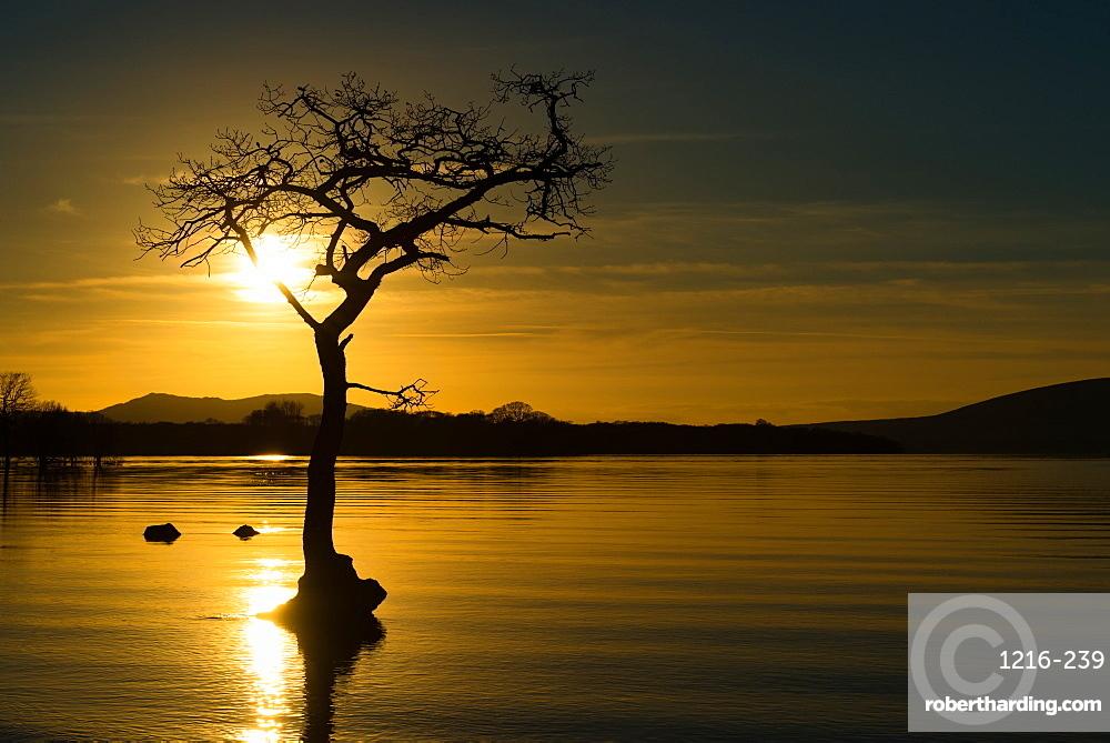 Tree submerged in Loch Lomond at sunset, Scotland, United Kingdom, Europe