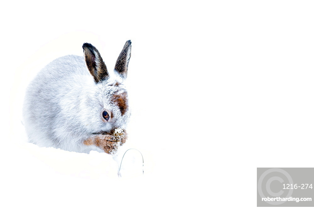 Mountain Hare (Lepus timidus ) in the Scottish Highlands, Scotland, UK