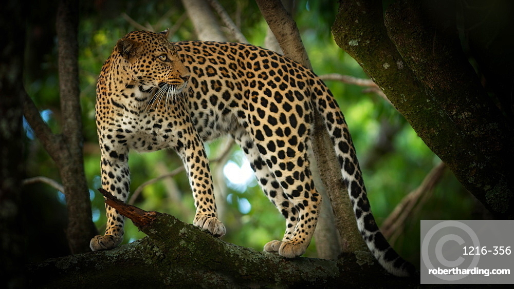 Leopard in a tree, Masai Mara, Kenya, East Africa, Africa