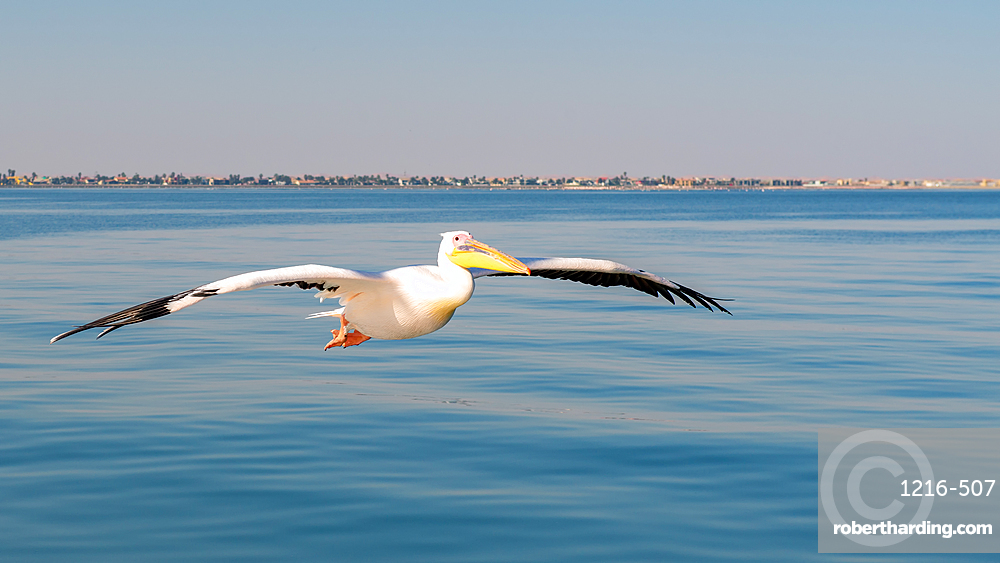 Pelican off the coast of Namibia, Namibia, Africa