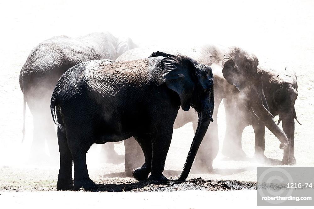 Herd of elephants in the dust, Chobe National Park, Botswana, Africa