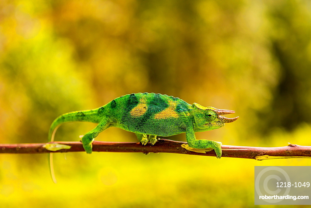 Three-horned Chameleon in Volcanoes National Park, Rwanda, Africa