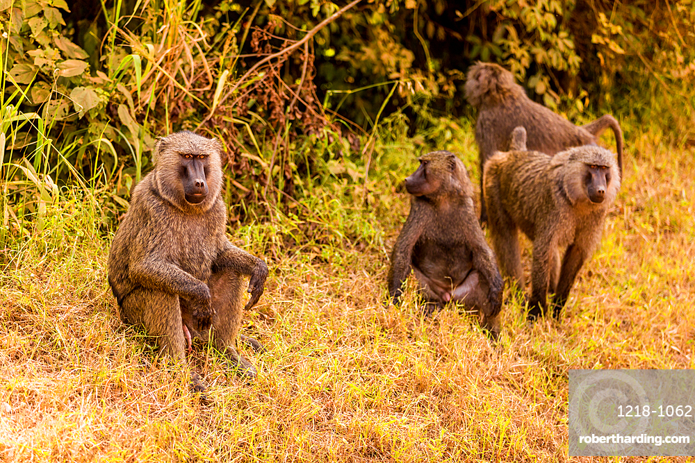 Baboons in Bwindi Impenetrable Forest National Park, Uganda, East Africa, Africa