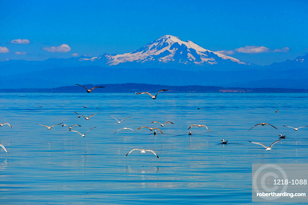 Birds flying over the water off the coast of Orcas Island overlooking Mount Baker, Washington State, United States of America, North America