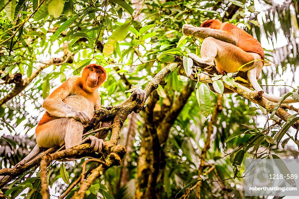Proboscis monkey, unique and native to Malaysia in Bako National Park, Kuching, Sarawak, Borneo, Malaysia, Southeast Asia, Asia