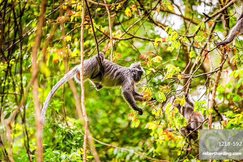 Macaque monkey in Bako National Park, Kuching, Sarawak, Borneo, Malaysia, Southeast Asia, Asia